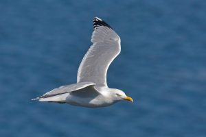 Herring_Gull_in_flight